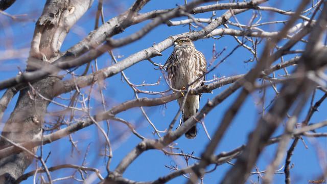 Épervier de Cooper - Cooper's Hawk, Québec, Canada - 3414