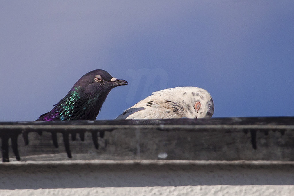 Joke - Rock Pigeon | Columba livia