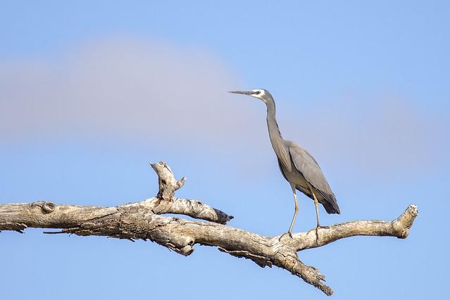 lagoon creek- white-faced heron