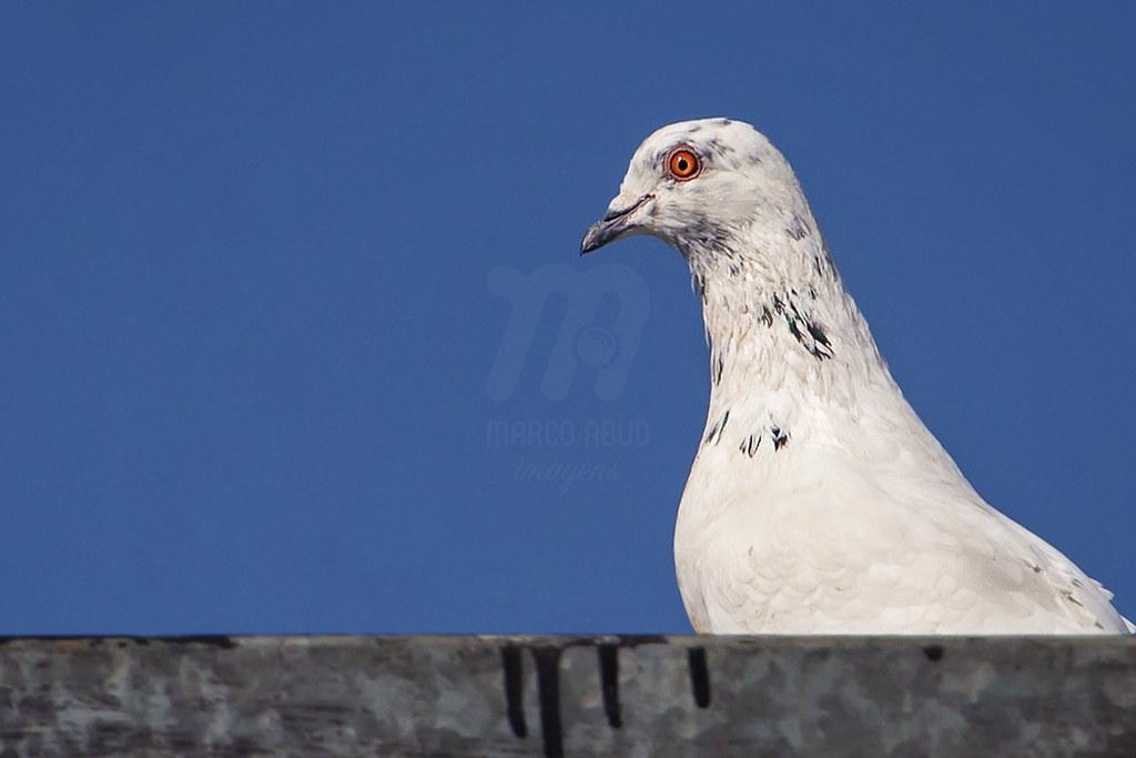 Peace - Rock Pigeon | Columba livia