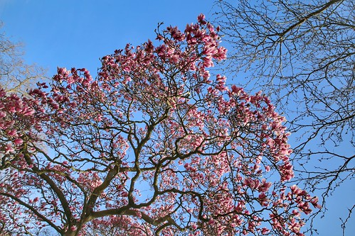Blooming pink magnolia at Dijleterrassen in Leuven