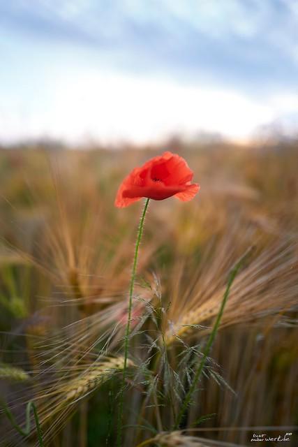 ... the last poppy