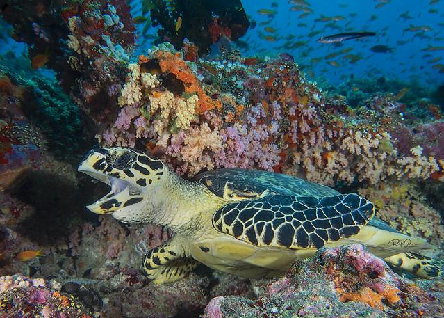 Hawksbill Sea Turtle - Eretmochelys imbricata