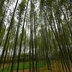 XE3F3240 - Bosque de bambú de Arashiyama - Arashiyama Bamboo Grove - 嵐山竹林 (Kioto, Japón)