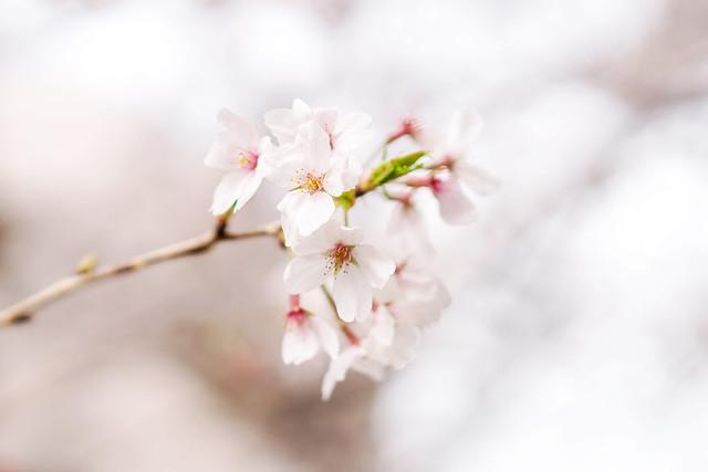 Cherry Blossoms (Yoshino cherry tree) : 桜花 (ソメイヨシノ)