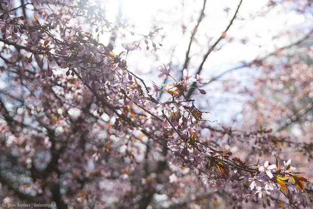 Roihuvuoren Kirsikkapuiston kukintaa keväällä 2020