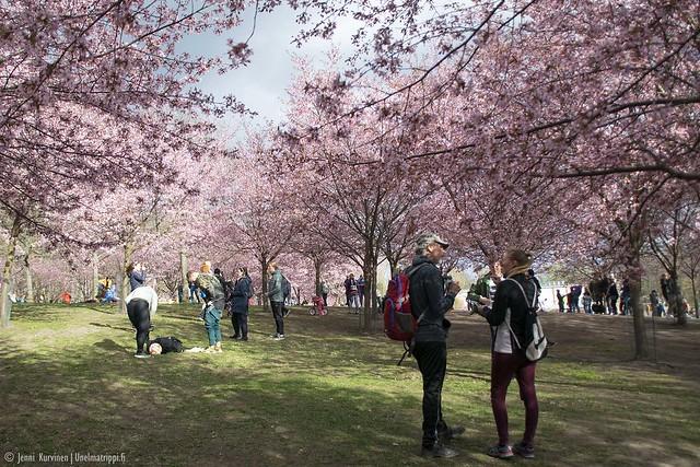 Ihmisiä Roihuvuoren Kirsikkapuistossa keväällä 2020