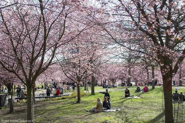 Nurmikolla istuskelevia ihmisiä Roihuvuoren Kirsikkapuistossa