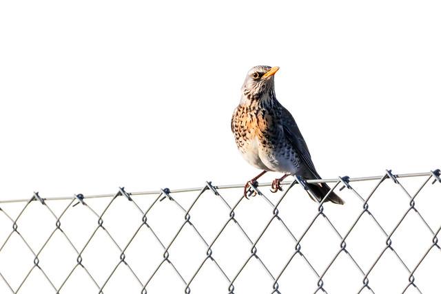 Fieldfare on a Fence #1