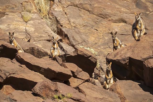 Yellow-footed Rock-wallabies
