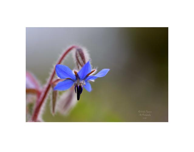 Borago officinalis. (Borraja común).