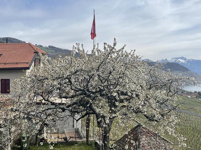 cherries blossoms