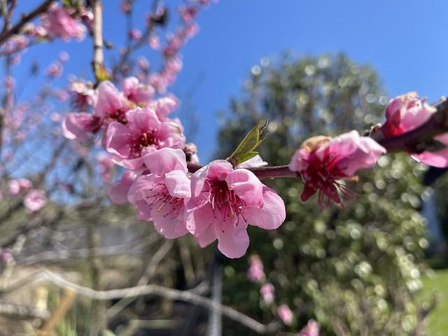 Peaches blossoms