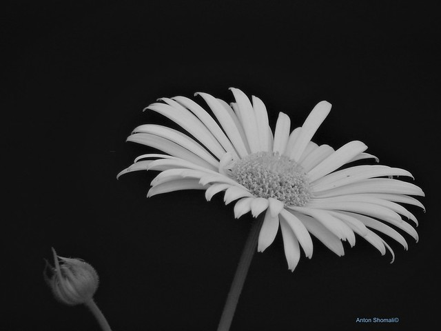 Spring Flower in Black and White