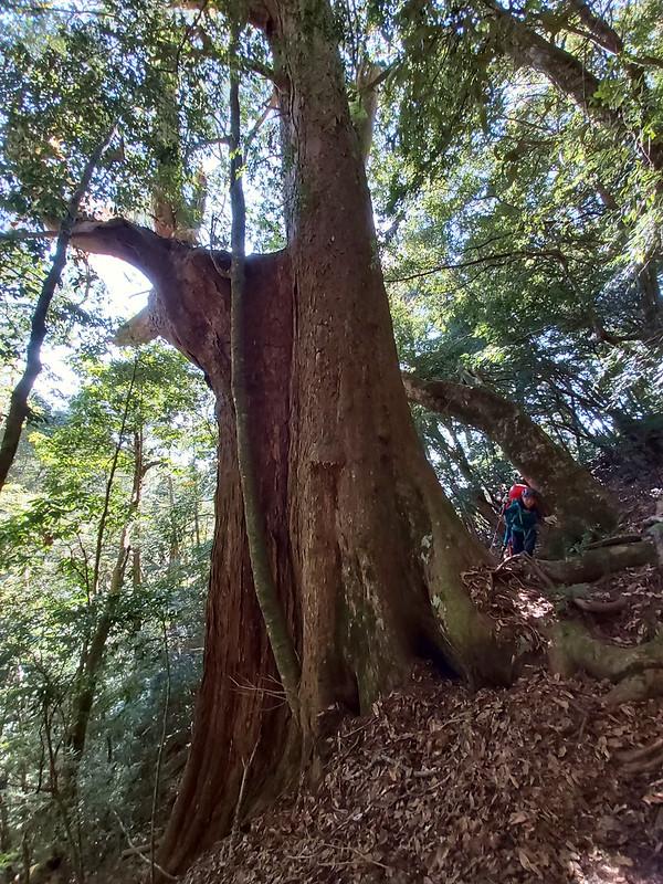 smangus-12-big-trees-2
