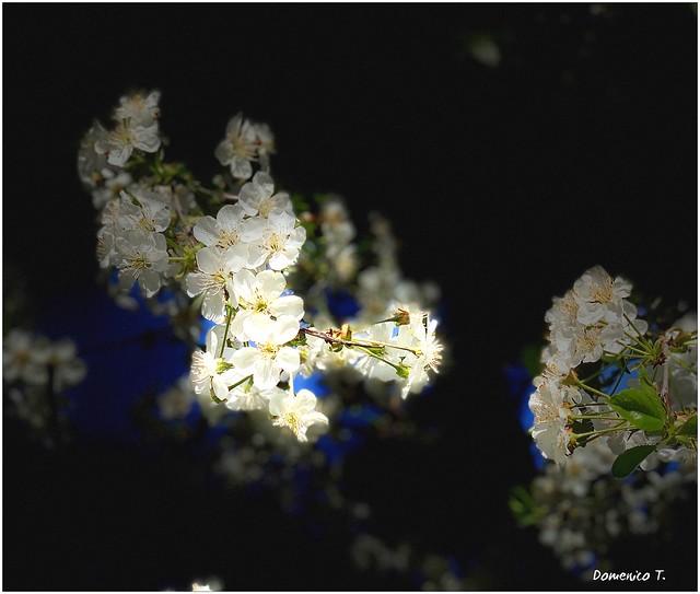 Fiori di pruno - Plum blossoms