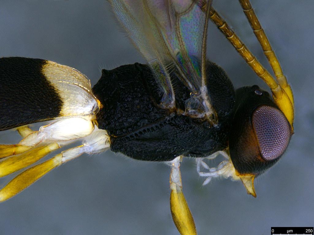 24b - Cheloninae sp.