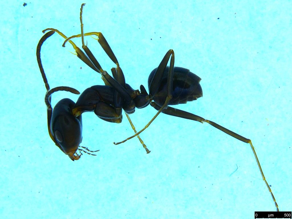 26a - Camponotus sp.