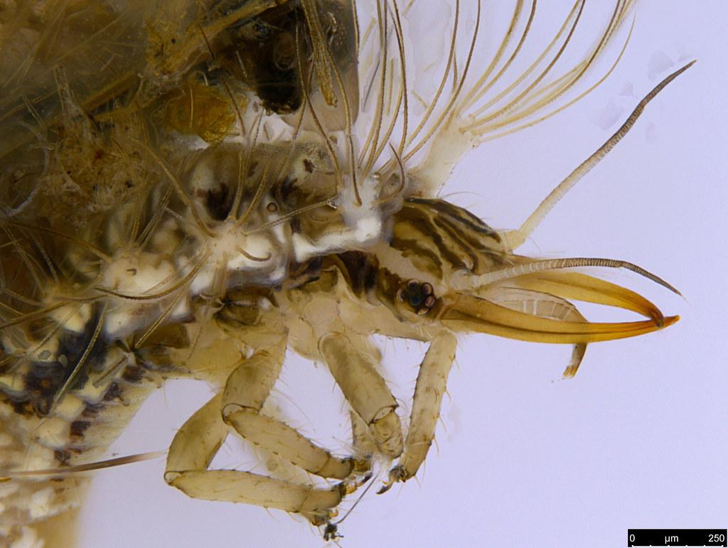 31b - Chrysopidae sp.