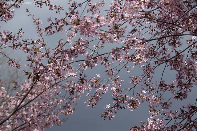 Tummia pilviä kirsikankukkien yllä Roihuvuoren Kirsikkapuistossa