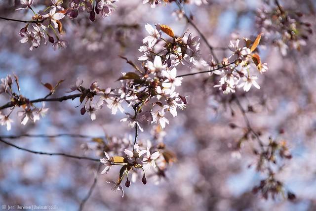 Vaaleanpunaisia kirsikankukkia Roihuvuoren Kirsikkapuistossa keväällä 2020