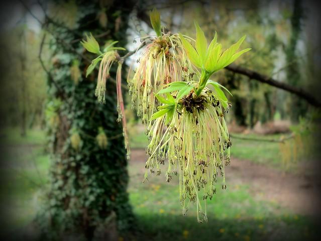 Jasenolisni javor - Pajavac / Boxelder maple (Acer negundo)