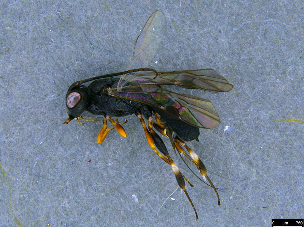 23a - Cheloninae sp.