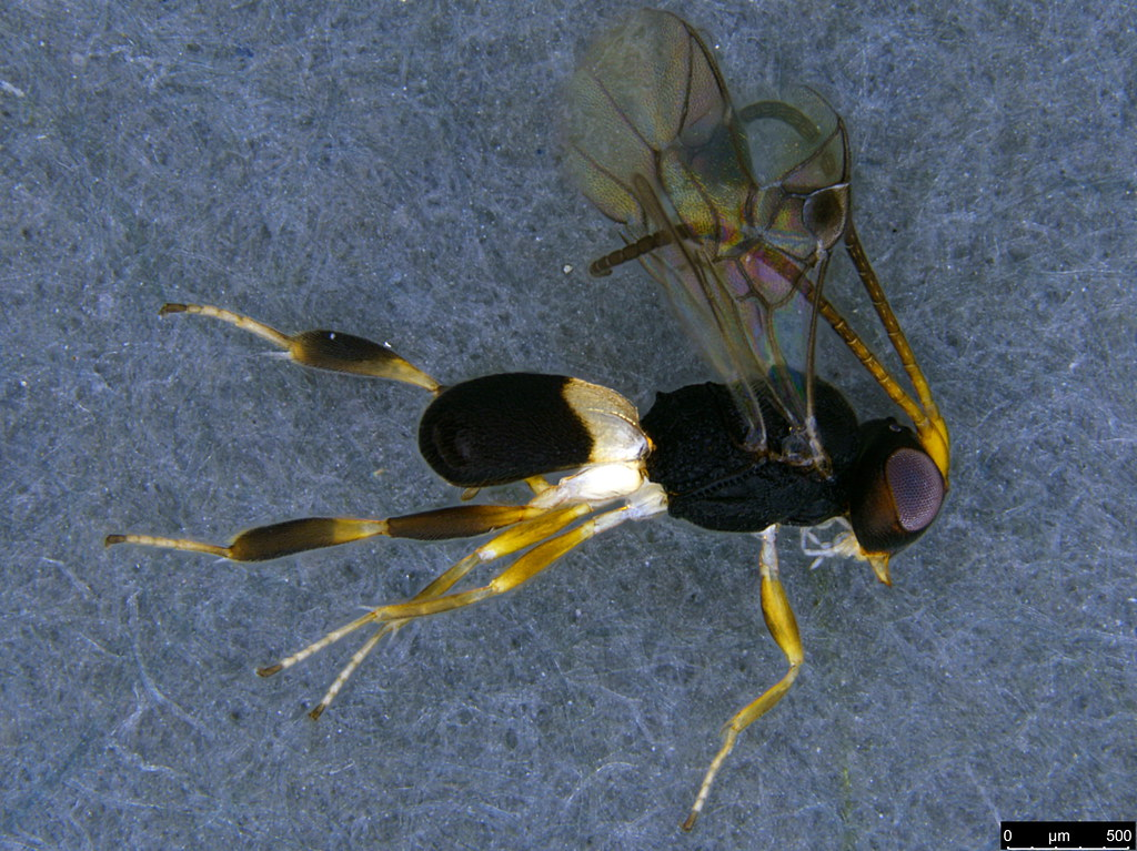 24a - Cheloninae sp.