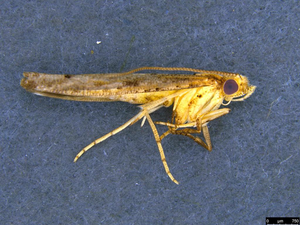 29 - Gracillarioidea sp.
