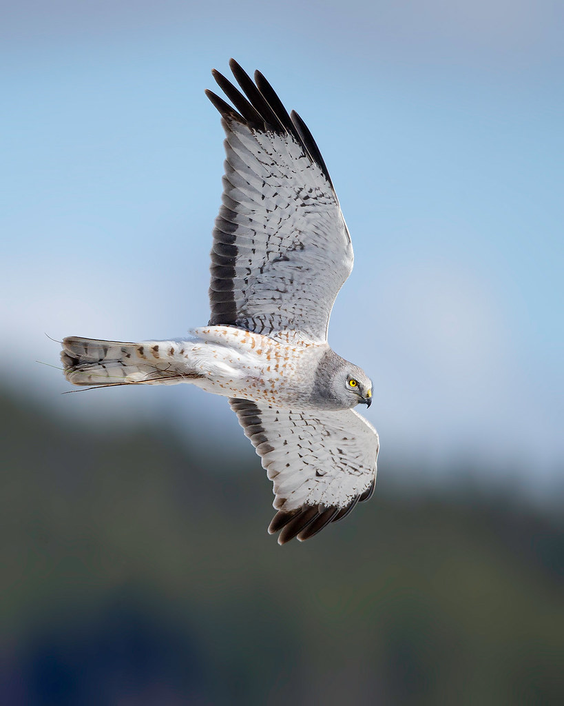 Banking Male Northern Harrier