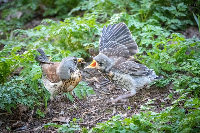 Thrush fieldfare, Turdus pylaris, feeds the chick with earthworms on the ground.