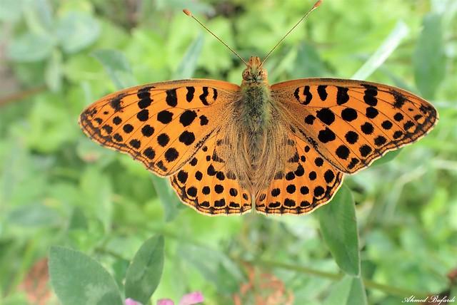 Butterfly 2087 (Issoria lathonia)