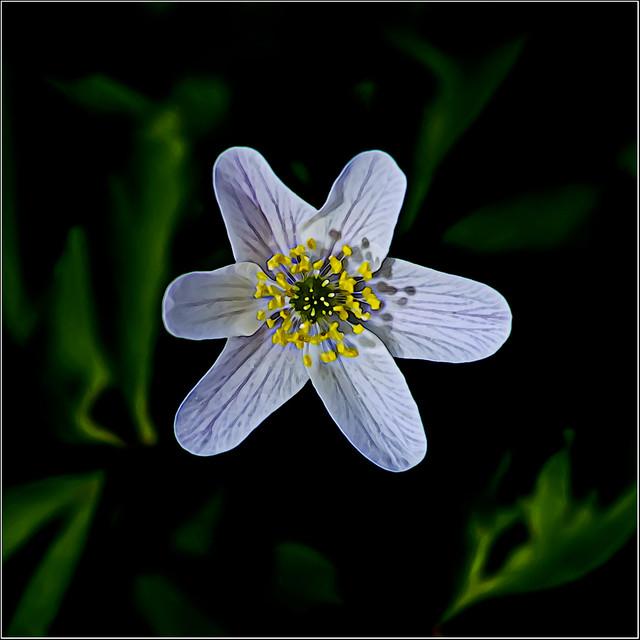 1556.365-095  Wood Anemone