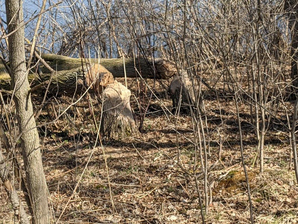 Trees Felled By Beavers