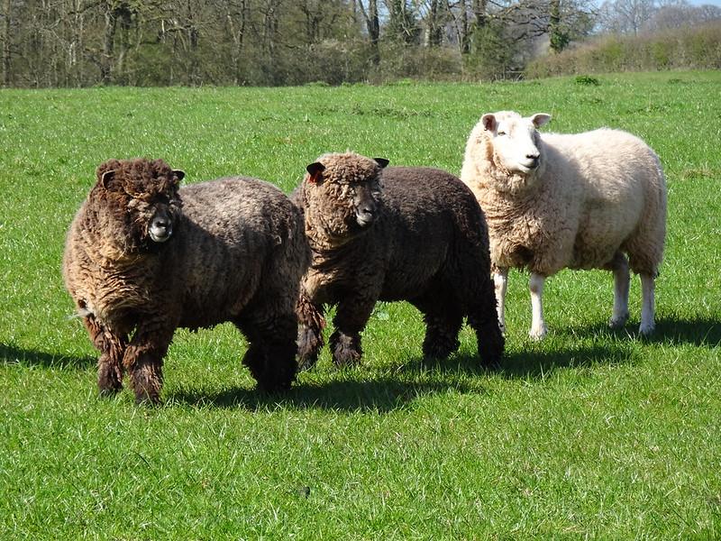 Three Sheep sizing us up.....