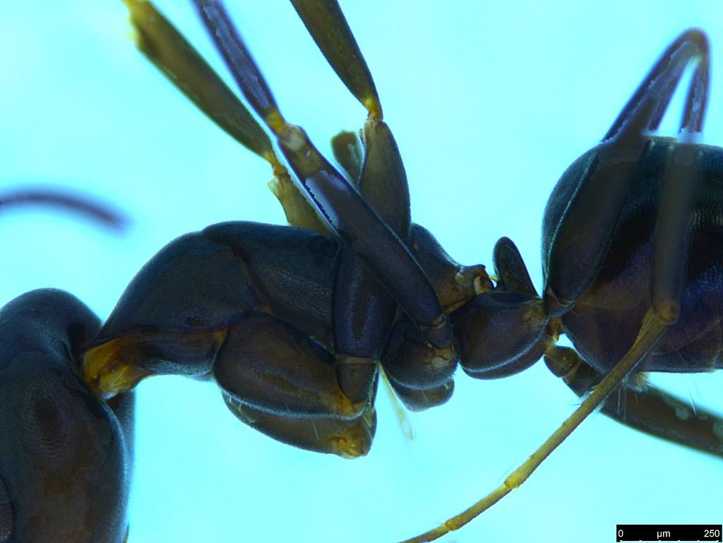 26b - Camponotus sp.