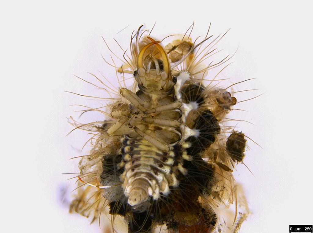 31c - Chrysopidae sp.