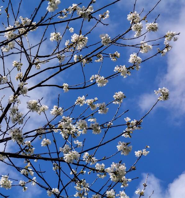 Ciliegio fiorito