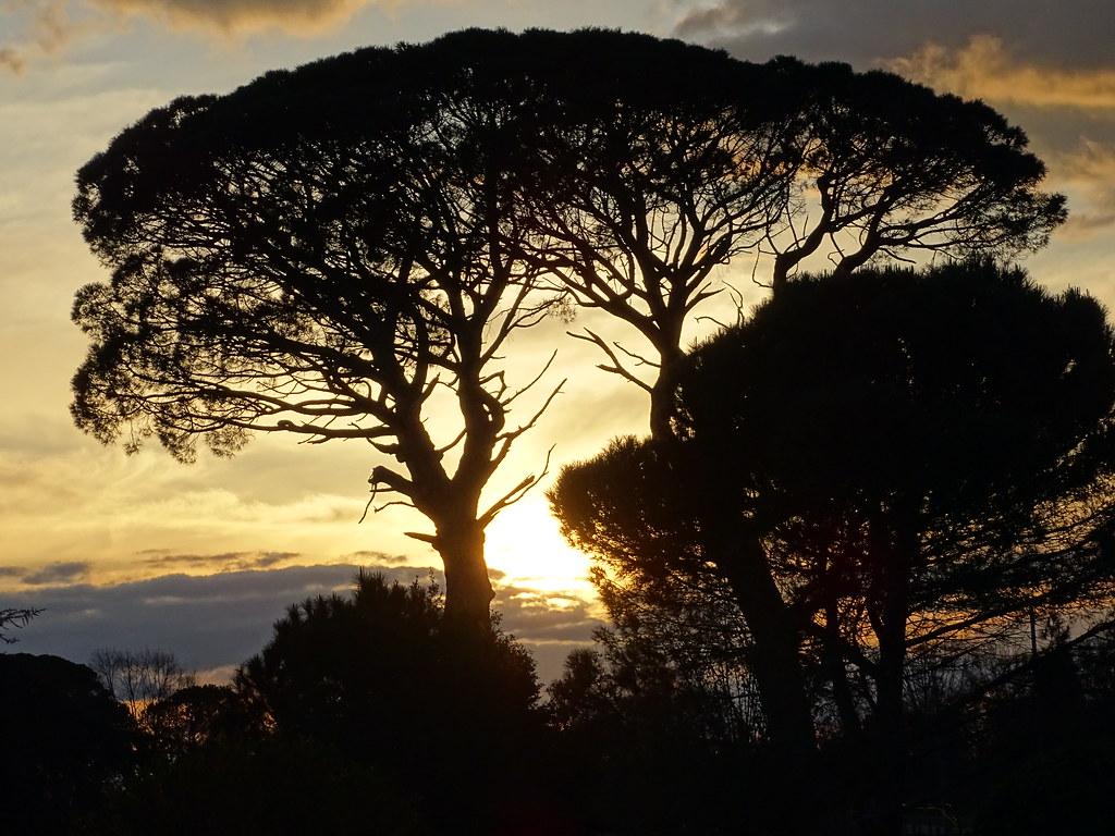 les deux pins parasols centenaires dans le soleil couchant