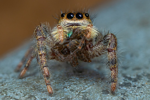 Jumper Eating Another Spider