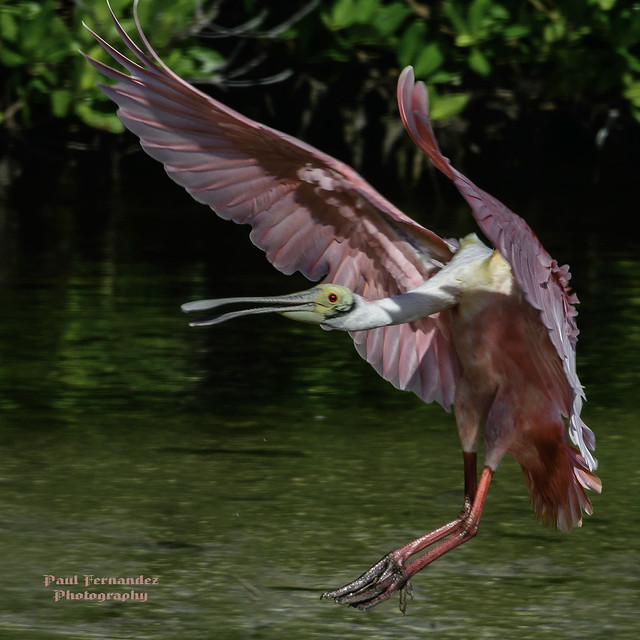 Roseate Spoonbill About to Touch Down at Ding Darling, Florida