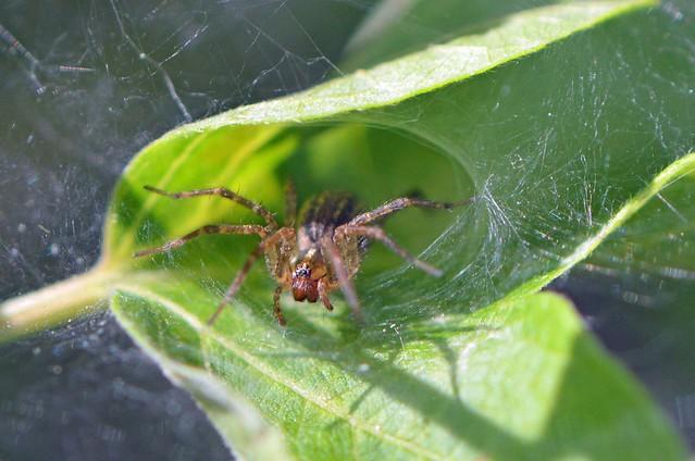Grass Spider(Explored)