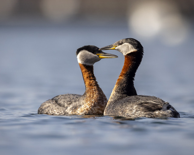 Red-necked Grebe pair