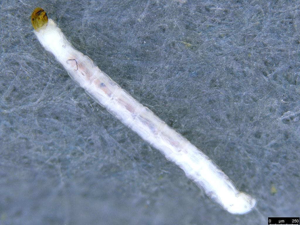 12a - Sciaroidea sp.