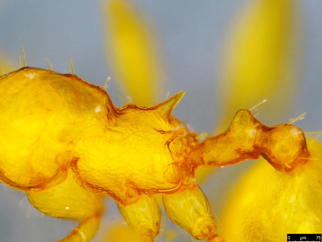 15c - Myrmicinae sp.
