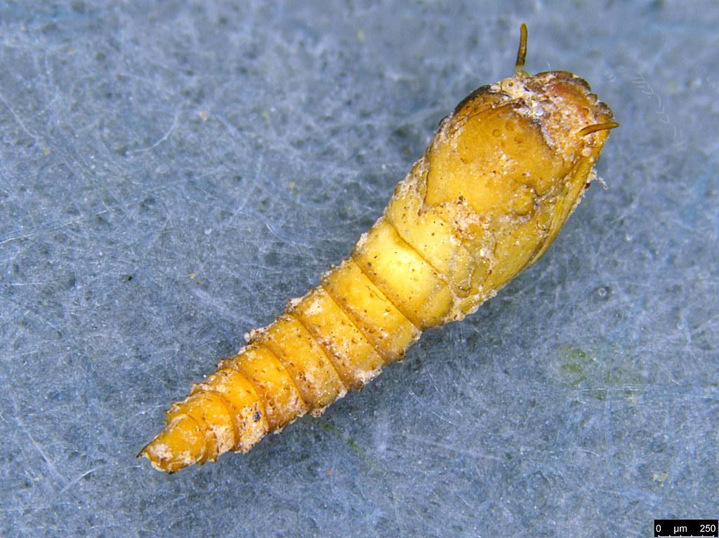 18a - Lepidoptera sp.