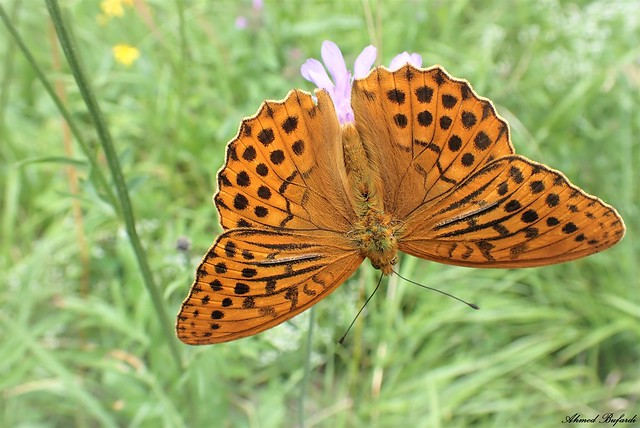 Butterfly 2088  (Argynnis paphia)