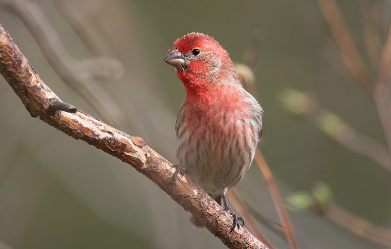 house finch male at Lake Meyer Park IA 653A4820