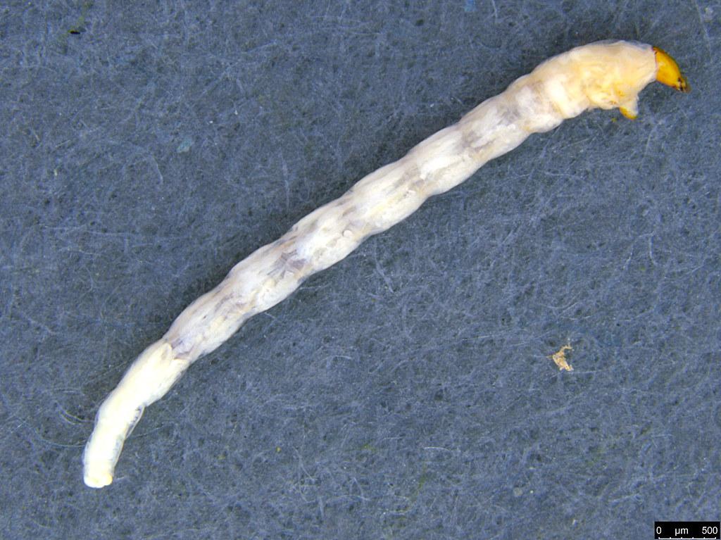 11a - Sciaroidea sp.