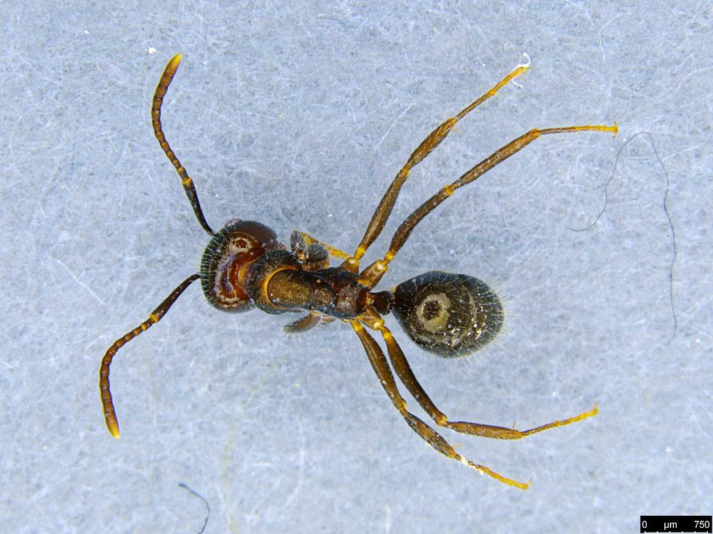 13 - Notoncus sp.